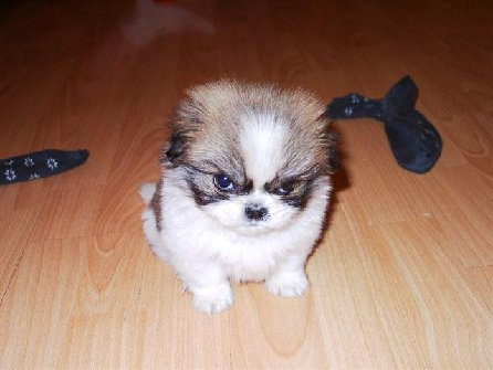 angry-puppy