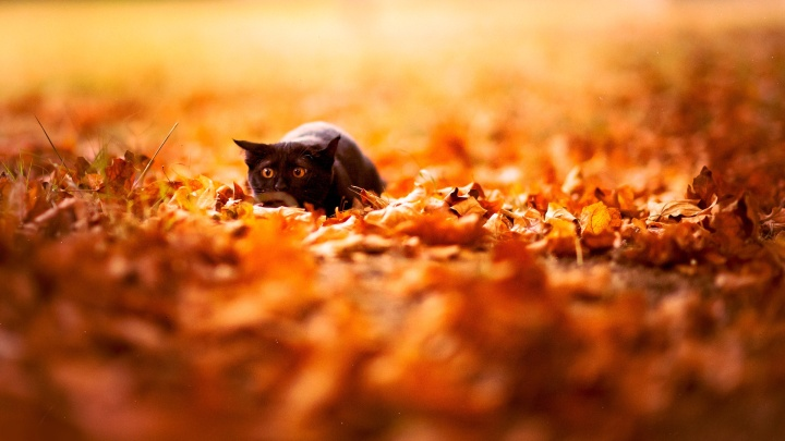 autumn-leaves-and-black-cat-wallpaper