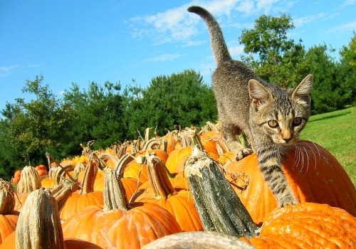 pumpkin-cat