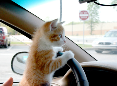 cat-driving-car