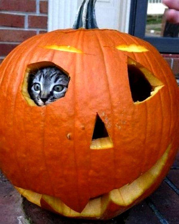 cat-jack-o-lantern-pumpkin-fort-600x747