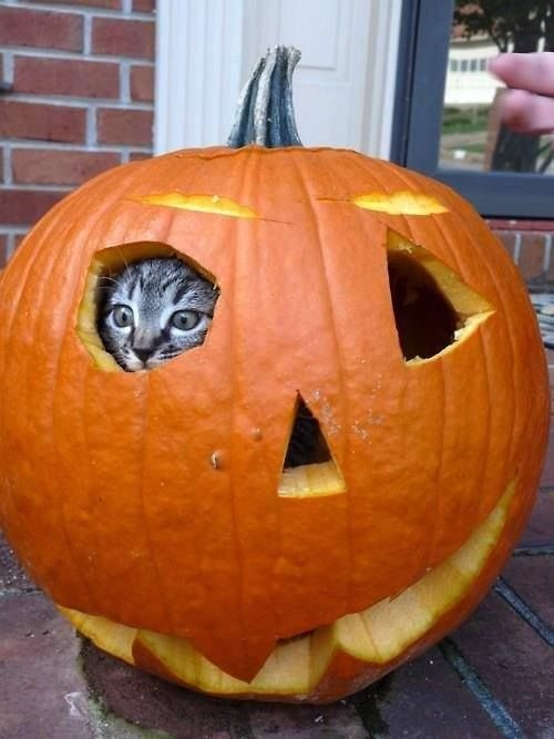 41137-Pumpkin-Hiding-Cat