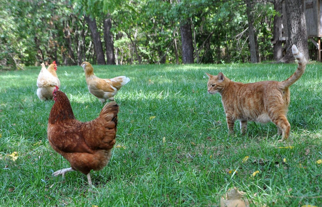 CAT-VS-CHICKEN3