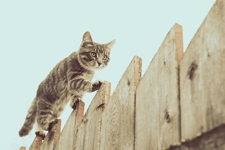 76165282 - tabby cat walking on the fence in the village.