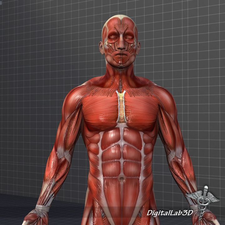 collection-human-male-and-female-muscular-system-3d-model-obj-fbx-c4d-lwo-lw-lws-ma-mb-hrc-xsi