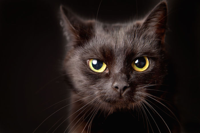 38076774 - close-up of a black cat, looking at camera, isolated on black